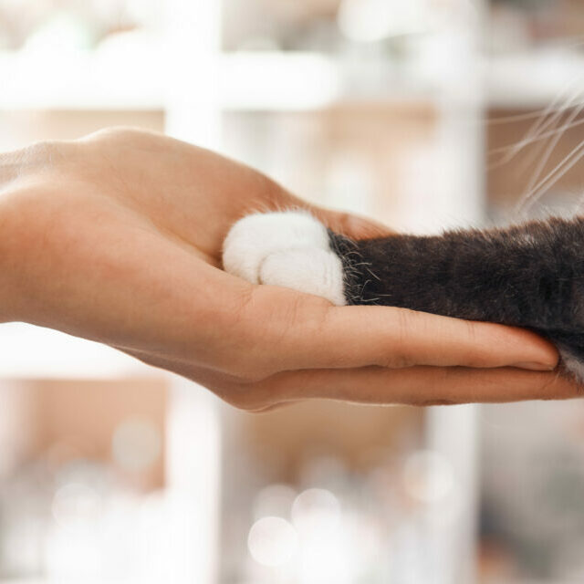 I am a friend for my patient. Close-up photo of female vet hand holding a paw of a black fluffy cat during a checkup in veterinary clinic. Pet care concept. Medicine concept. Animal hospital